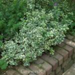 10x Kriechspindel Silver Carpet 15-20cm - Euonymus fortunei