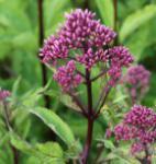 Wasserdost Purple Bush - Eupatorium fistulosum
