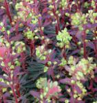 Mandelblättrige Wolfsmilch Purpurea - Euphorbia amygdaloides