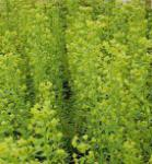 Zypressen Wolfsmilch Forescate - Euphorbia characias