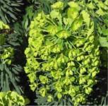 Palisaden Wolfsmilch Humpty Dumpty - Euphorbia characias