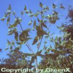 Kreuzblättrige Wolfsmilch - Euphorbia lathyris