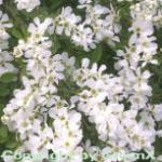 Kleine Prunkspiere The Bride 100-125cm - Exochorda macrantha