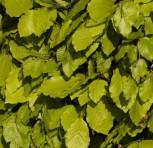 Felderbach Buche 40-60cm - Fagus sylvatica
