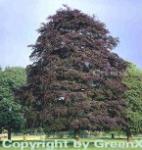 Blutbuche Swat Magret 60-80cm - Fagus sylvatica
