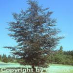 Blutbuche 60-80cm - Fagus sylvatica Purpurea