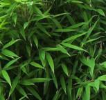 Gartenbambus Bimbo 40-60cm - Fargesia murielae