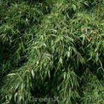 Gartenbambus Silver Bird® 125-150cm - Fargesia murielae