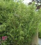 Gartenbambus Superjumbo 125-150cm - Fargesia murielae