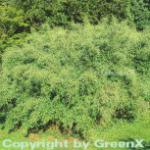 Schirmbambus 100-125cm - Fargesia murielae