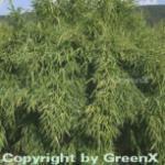 Gartenbambus Standing Stone 100-125cm - Fargesia murielae