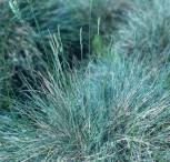 Blauschwingel Azurit - großer Topf - Festuca cinerea