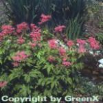 Sibirien Scheinspiere - Filipendula palmata
