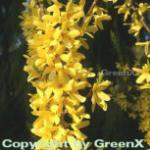 Hochstamm Forsythie Melee Dor 60-80cm - Forsythia