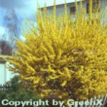 Goldglöckchen Spectabilis® 40-60cm - Forsythia intermedia