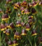 Türkische Schachbrettblume - Fritillaria michailovskyi