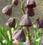 Persische Schachbrettblume - Fritillaria persica