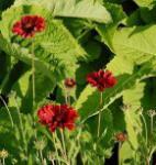 Kokardenblume Bright Red - großer Topf - Gaillardia gallo