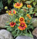 Kokardenblume Arizona Sun - Gaillardia aristata