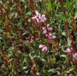 Prachtkerze Cherry Brandy - Gaura lindheimeri