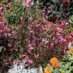 Prachtkerze Gaudi Pink - Gaura lindheimeri