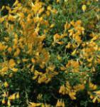 Ätna Ginster 80-100cm - Genista aetnensis