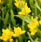 Zwerg Pfeilginster 20-30cm - Genista delphinensis
