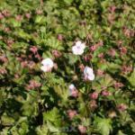 Storchenschnabel Harz - Geranium cantabrigiense