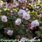 Storchenschnabel Lohfelden - Geranium cantabrigiense
