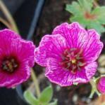 Storchenschnabel Purple Pillow - Geranium cinereum