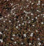 Storchenschnabel Sanne - Geranium cultorum