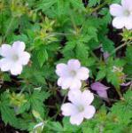 Storchenschnabel Lady Moore - Geranium oxonianum