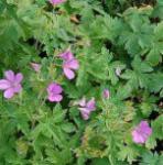 Storchenschnabel Rose Clair - Geranium oxonianum
