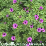 Schwarzäugiger Storchschnabel - Geranium psilostemon