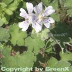 Kaukasus Storchschnabel - Geranium renardii