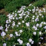 Waldstorchschnabel Ice Blue - Geranium sylvaticum