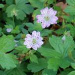 veränderlicher Storchenschnabel - Geranium versicolor
