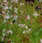 Südliche Dreiblattspiere - Gillenia stipulata