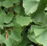 Zwerg Fächerblattbaum Tit 80-100cm - Ginkgo biloba