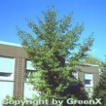 Fächerblattbaum 100-125cm - Ginkgo biloba