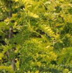 Lederhülsenbaum Spectrum 100-125cm - Gleditsia triacanthos