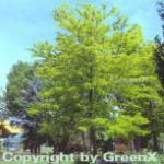 Lederhülsenbaum Sunbrust 60-80cm - Gleditsia triacanthos