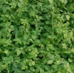 Jiaogulan - Teepflanze