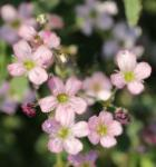 Teppich Schleierkraut Filou Rose - Gypsophila repens