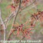 Rote Zaubernuß Ruby Glow 60-80cm - Hamamelis intermedia