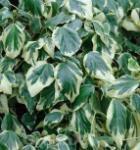 Buntblättriger Kaukasischer Strauch Efeu 60-80cm - Hedera colchica
