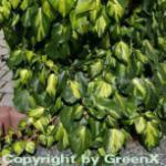 Kaukasischer Efeu Sulphur Heart 125-150cm - Hedera colchica