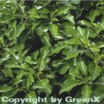Strauch Efeu 100-125cm - Hedera helix Arborescens