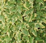 10x Efeu Goldchild 10-15cm - Hedera helix