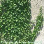 10x Efeu Plattensee 15-20cm - Hedera helix
